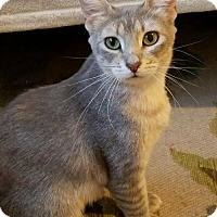 Domestic Shorthair Cat for adoption in Chandler, Arizona - Lavender
