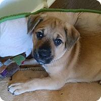 Adopt A Pet :: Sisko - Huntsville, AL