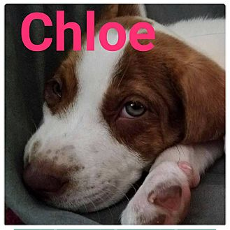 Hound (Unknown Type)/Labrador Retriever Mix Puppy for adoption in fort wayne, Indiana - Chloe