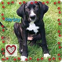 Adopt A Pet :: Harley - Elgin, IL