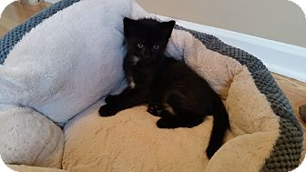 Domestic Mediumhair Kitten for adoption in Turnersville, New Jersey - Carter