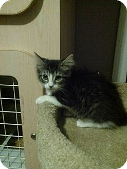 Domestic Mediumhair Kitten for adoption in Northfield, Ohio - Freckles