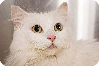 Turkish Angora Cat for adoption in San Juan Capistrano, California - Jessica
