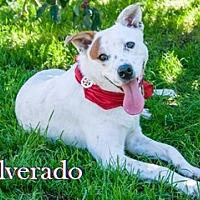 Adopt A Pet :: Silverado - Hamilton, MT