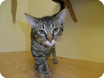 Domestic Shorthair Kitten for adoption in Milwaukee, Wisconsin - Rayon
