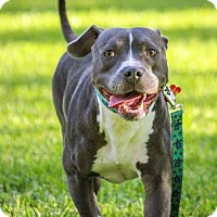 Pit Bull Terrier Mix Dog for adoption in Gainesville, Florida - Betty
