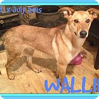 Adopt A Pet :: WALLIE - Jersey City, NJ