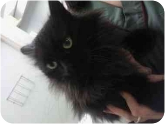 Domestic Longhair Cat for adoption in Staten Island, New York - Nala