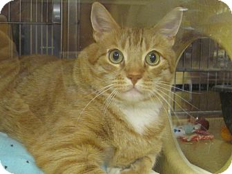 Domestic Shorthair Cat for adoption in Diamond Bar, California - LOGAN