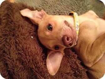 Sinclair   Adopted Puppy   Brea, CA   Pharaoh Hound ...