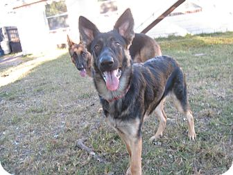 German Shepherd Dog Puppy for adoption in Green Cove Springs, Florida - Mea