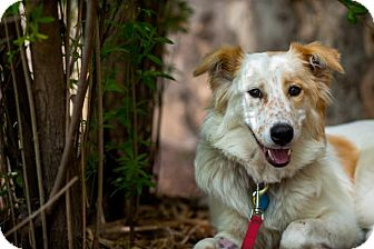 Great Pyrenees/Border Collie Mix Dog for adoption in Austin, Texas - Tegan
