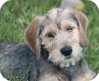 Schnauzer (Miniature) Mix Puppy for adoption in Russellville, Kentucky - Milo