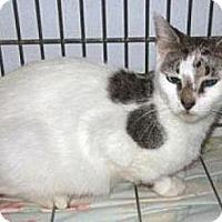 Domestic Shorthair Kitten for adoption in Miami, Florida - Lola