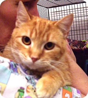 Domestic Shorthair Cat for adoption in Alden, Iowa - Goldstone
