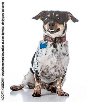 Dachshund Mix Dog for adoption in McKinney, Texas - Hudson
