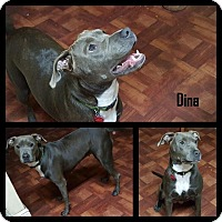 Adopt A Pet :: Dina - hollywood, FL