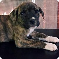 Adopt A Pet :: Moonlight Pup - Cyra - San Diego, CA
