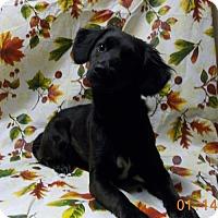 Adopt A Pet :: Asher--Fun spaniel girl--S - Alvin, TX