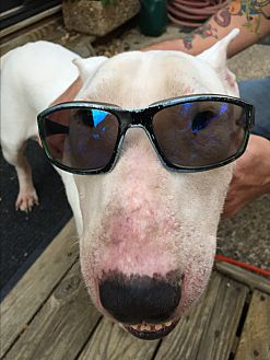 Bull Terrier Dog for adoption in Dallas, Texas - Niko