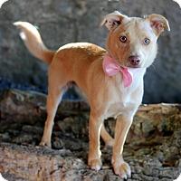 Adopt A Pet :: Gracie - Dalton, GA