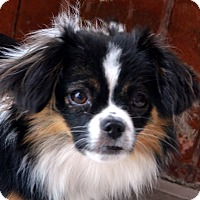 Adopt A Pet :: Addie - Bridgeton, MO