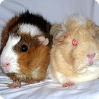 Guinea Pig for adoption in Monrovia, Maryland - Toffee & Sandy