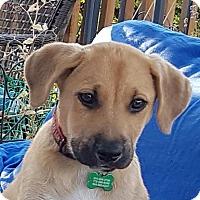 Adopt A Pet :: Gus - Surrey, BC