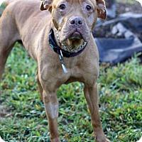 Adopt A Pet :: Ginger - Waldorf, MD