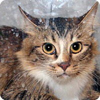 Domestic Mediumhair Cat for adoption in Wildomar, California - Kitty