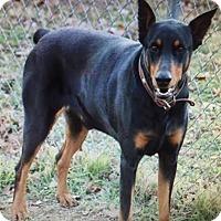Doberman Pinscher Dog for adoption in Fort Worth, Texas - Brinx