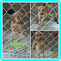 Adopt A Pet :: MACKIE - Malvern, AR