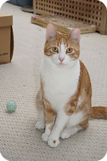 Domestic Shorthair Cat for adoption in Vancouver, British Columbia - Gerry