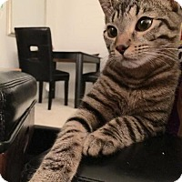 Bengal Cat for adoption in Washington, D.C. - Chaos (Has Application)