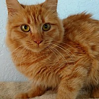 Domestic Shorthair Cat for adoption in Alamogordo, New Mexico - Simona