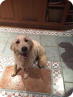 Golden Retriever Dog for adoption in Washington, D.C. - Carly