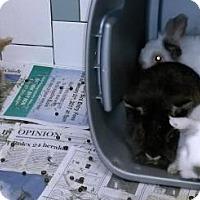 Adopt A Pet :: RABBITS - DeLand, FL