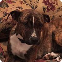 Adopt A Pet :: Macy - Sunbury, OH