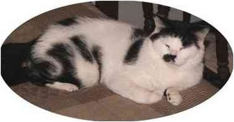 Domestic Shorthair Cat for adoption in Milford, Ohio - Groucho