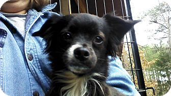 Chihuahua/Pomeranian Mix Dog for adoption in Brattleboro, Vermont - Bits
