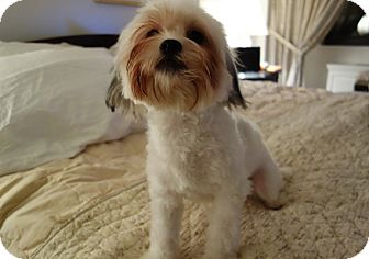 Maltese/Shih Tzu Mix Dog for adoption in Long Beach, New York - Cody