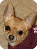 Chihuahua Dog for adoption in Dallas, Texas - Maddie