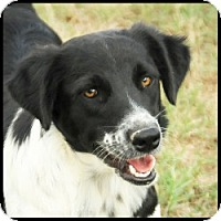 Border Collie/Labrador Retriever Mix Dog for adoption in Quinlan, Texas - Fluffy