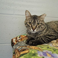 Adopt A Pet :: Lewis - House Springs, MO