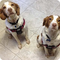 Adopt A Pet :: Daisy & Rusty (bonded pair) - Buffalo, NY
