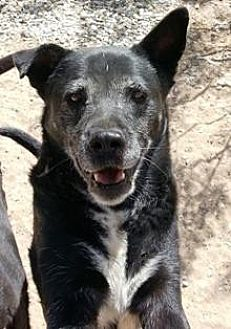Australian Kelpie/German Shepherd Dog Mix Dog for adoption in El Cajon, California - Lily