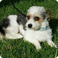Adopt A Pet :: Scruffy - Encino, CA