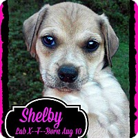 Adopt A Pet :: Shelby meet me 10/17 - East Hartford, CT