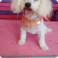 Adopt A Pet :: Anna - San Diego, CA