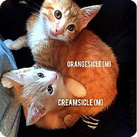 Adopt A Pet :: Creamsicle - Bentonville, AR